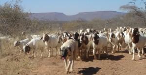 Kangal_Shepherd_(livestock-guarding_dog)_and_flock_of_goats_in_Namibia